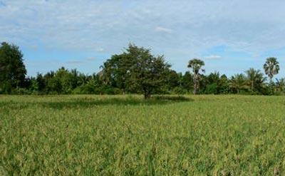 Rizières de Battambang